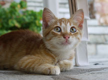 Tabby Cat Portrait Stock Image