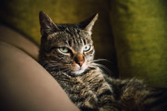 Tabby cat portrait Royalty Free Stock Image