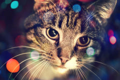 Tabby Cat Portrait Royalty Free Stock Images