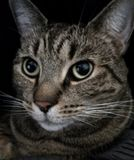 Tabby cat portrait. Stock Photos