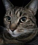 Tabby cat portrait. Tabby cat portrait with dark background Stock Photos