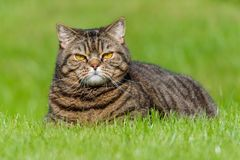Tabby cat portrait on the grass stock photography