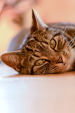 Tabby cat portrait. Laying on wooden floor in dining room Stock Photo