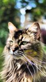 Tabby cat portrait. Portrait of a long haired tabby cat Royalty Free Stock Image