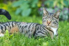 Tabby Cat portrait n green grass on a late spring afternoon. Young green-eyed Mackerel Tabby Cat frolics in the grass on a late spring afternoon.  Stray cat in stock photo