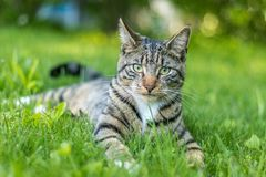 Tabby Cat portrait n green grass on a late spring afternoon. Young green-eyed Mackerel Tabby Cat frolics in the grass on a late spring afternoon.  Stray cat in stock photos