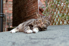 Tabby cat portrait. On shed roof Royalty Free Stock Images