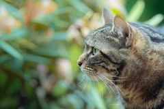 Upclose portrait of a tabby cat royalty free stock images