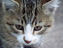 Tabby cat. Portrate of a tabby cat with white markings Royalty Free Stock Photography