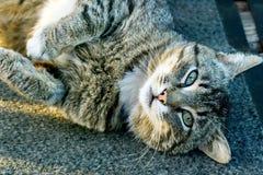 Tabby Cat Posing Arkivbild