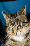 Tabby Cat Posing Royalty Free Stock Photo