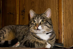 Tabby Cat Posing Stock Images