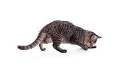 Tabby Cat Pouncing Royalty Free Stock Images