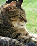 Tabby Cat prendente il sole sul portico Fotografie Stock Libere da Diritti