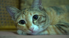 Tabby cat prepare to sleep with the noise of television stock footage