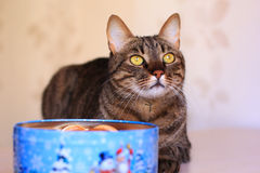 Tabby cat and present box Royalty Free Stock Image