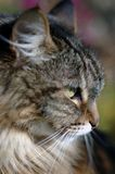 Head of brown tabby cat. Closeup profile of the head of a long-haired brown tabby cat royalty free stock photos