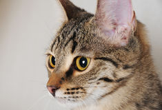 Tabby cat in profile, close-up portrait Royalty Free Stock Photo