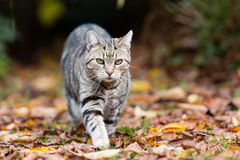 Tabby cat on the prowl. Handsome tabby cat on the prowl in woodland area with fallen leaves on the ground royalty free stock photos
