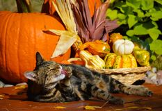 Tabby cat and pumpkins. Feline washing in the autumn sun with thanksgiving decor in the background Stock Photo