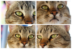 Tabby cat pussy close-ups Stock Photography