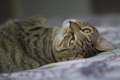 Tabby Cat que miente en la cama, ojos brillantes Fotografía de archivo libre de regalías