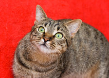 Tabby cat on red Royalty Free Stock Photography