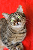 Tabby cat on red Stock Image