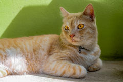 Tabby Cat Relax On The Floor jaune Photo libre de droits