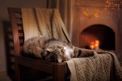 Tabby Cat Relaxing cinzenta e preta Fotografia de Stock Royalty Free