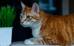 Tabby cat relaxing. A tabby cat relaxing and eat the grass outside Royalty Free Stock Images