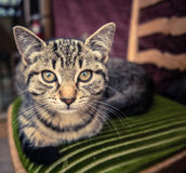 Tabby Cat. Relaxing On A Kitchen Chair royalty free stock photo