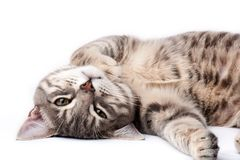 Tabby cat relaxing. And looking at camera Stock Image