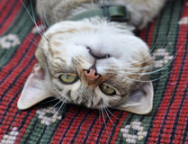 Tabby cat resting Stock Photography