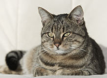 Tabby cat resting Stock Photos