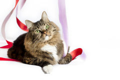 Tabby Cat with Ribbons Royalty Free Stock Images