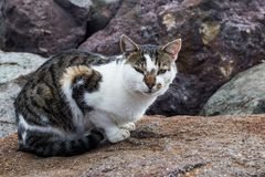 Tabby cat on rock. A tabby cat with white marks on a rock stock photography