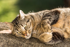 Tabby cat rolling on the ground. Brown Tabby cat rolling on the ground Royalty Free Stock Photos