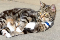 Tabby cat rolling over on pavement. Tabby cat rolling over lying down on pavement Royalty Free Stock Photos
