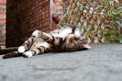 Tabby cat. Rolling over on shed roof Royalty Free Stock Images