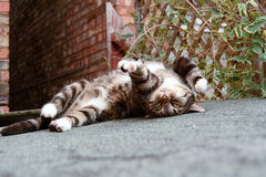 Tabby cat rolling over. On shed roof Royalty Free Stock Image