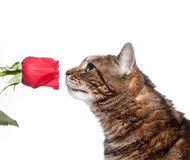 Tabby cat and rose Royalty Free Stock Photos