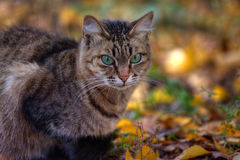 Tabby cat's portrait in autumn Royalty Free Stock Image