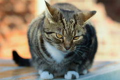 Tabby cat sat on garden table Royalty Free Stock Image