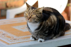 Tabby cat sat on garden table Stock Photo
