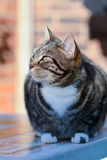 Tabby cat sat on garden table in sun Royalty Free Stock Photo