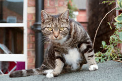Tabby cat sat on shed roof Stock Photography