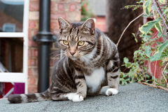 Tabby cat on shed roof. Tabby cat sat on shed roof Royalty Free Stock Photo