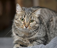 Tabby cat with a scared look. Guilty stock photo