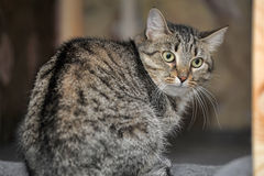 Tabby cat with a scared look. Guilty stock photos
